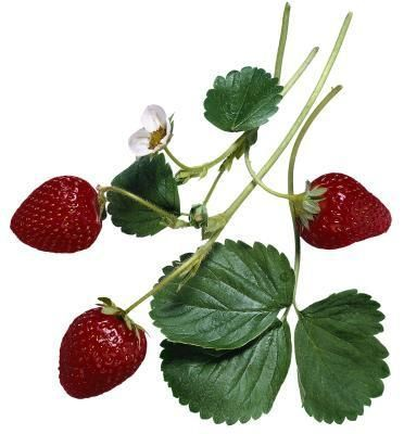 What Are the Health Benefits of Strawberry Leaves?