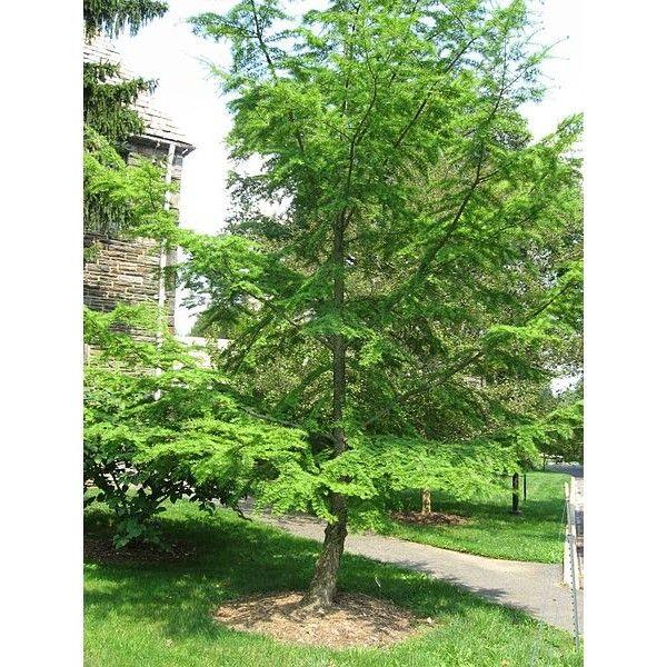 http://www.rarexoticseeds.com/fr/graines-arbres/graines-pseudolarix-amabilis-graines-meleze-chine-graines-meleze-dore-chine.html