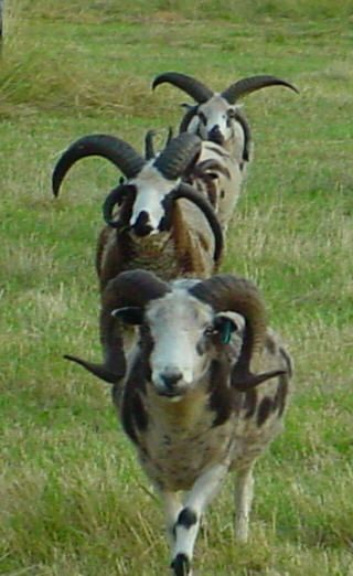 Jacob Sheep Breed | Sheep like me | Pinterest | More Sheep ...