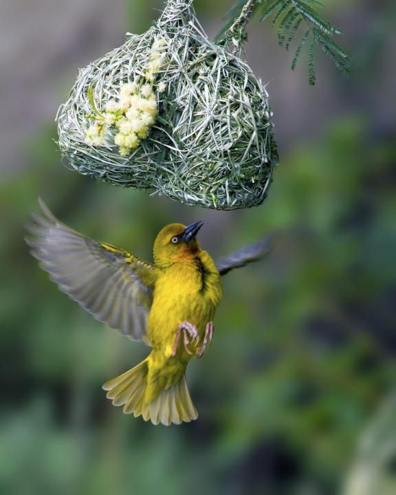 Cape Weaver (Ploceus capensis, Passeriformes: Ploceidae) Male cape weaver at nest Western Cape Province Author: Louis Groenewald