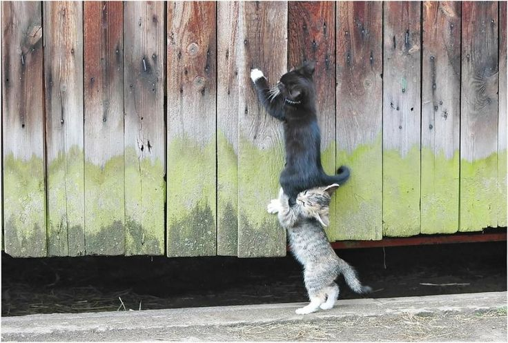 Cats Helping Cats - www.vhcorp.org #helping #catsFence, Teamwork, Best Friends, True Friends, Funny Cat, Helpful Hands, Kittens, Kitty, Animal