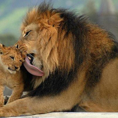 .: Big Cat, Wild Animal, Cute Animal,  King Of Beasts,  Panthera Leo, Baby Animal, Lion King, Bigcat, Bath Time