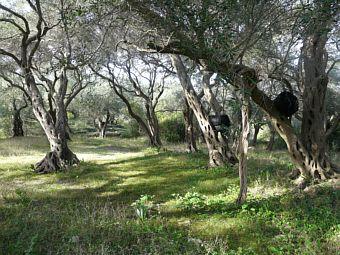 olivegrove.jpg (340×255)