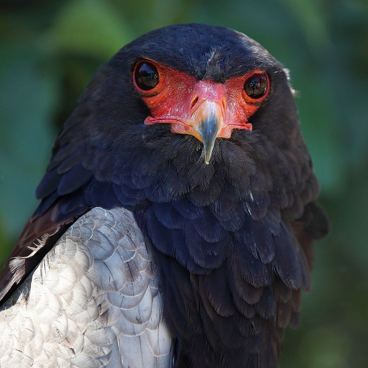 on the first Monday in 2015 ... nevertheless, have a good one ! Bateleur Eagle / Gaukler (Terathopius ecaudatus) Moholoholo Rehabilitation Center, South Africa https://www.picturedashboard.com