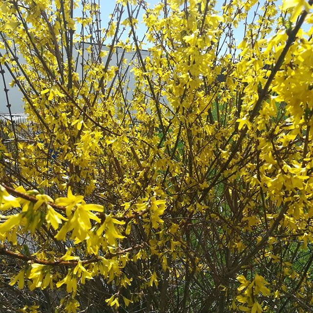 Blütensträucher in gelb 25 Forsythien auch als Hecke