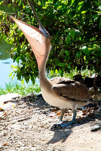 The Jamaican name for a pelican is 'Old Joe'