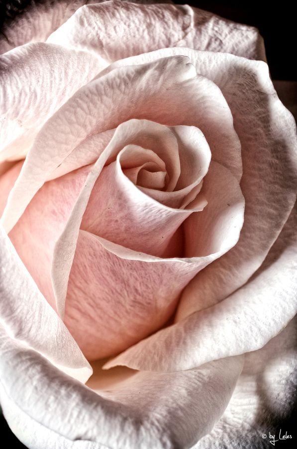 pale pink rose closeup