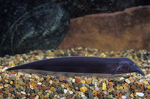 17+ images about Knifefish on Pinterest | Pictures of ...
