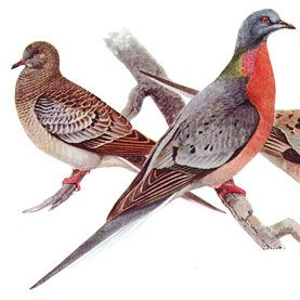 Ancient DNA Could Return Passenger Pigeons to the Sky - Genetic engineering could restore the once profuse North American bird after a century or more of extinction