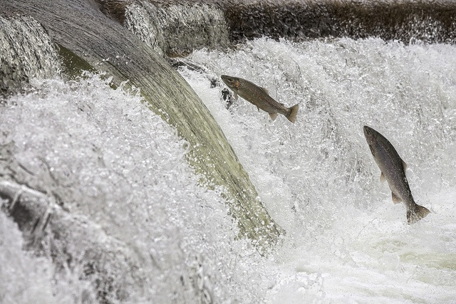 Flying Fish : Rainbow Trout on the Humber
