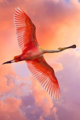 Roseate Spoonbill - These were made extinct in the Okefenokee by logging in the 1930's. Thank Goddess their magnificence still exists for us to enjoy.