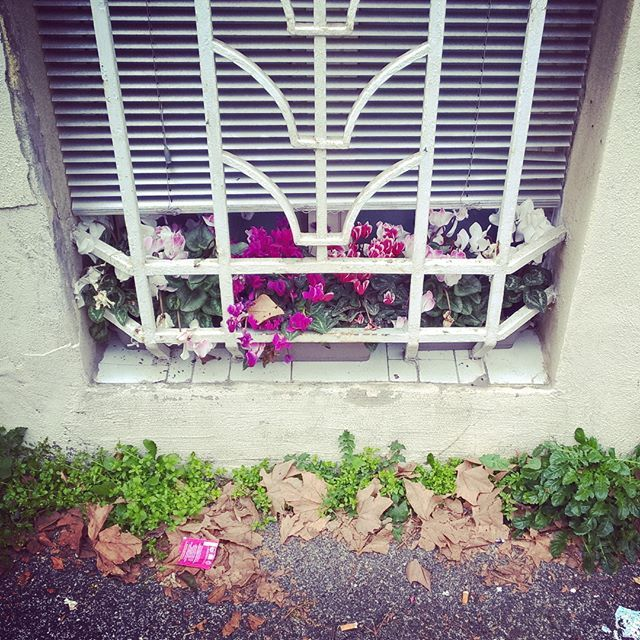 #window #flowers #grass #wall #leafs #litter #colors #white #green #purple #finestra #sbarre #fiori #erba #foglie #immondizia #colori #bianco #verde #fucsia #instagrammers #followme #instapic #instaphoto #instadaily #instashot #flowersofinstagram #instaflowers