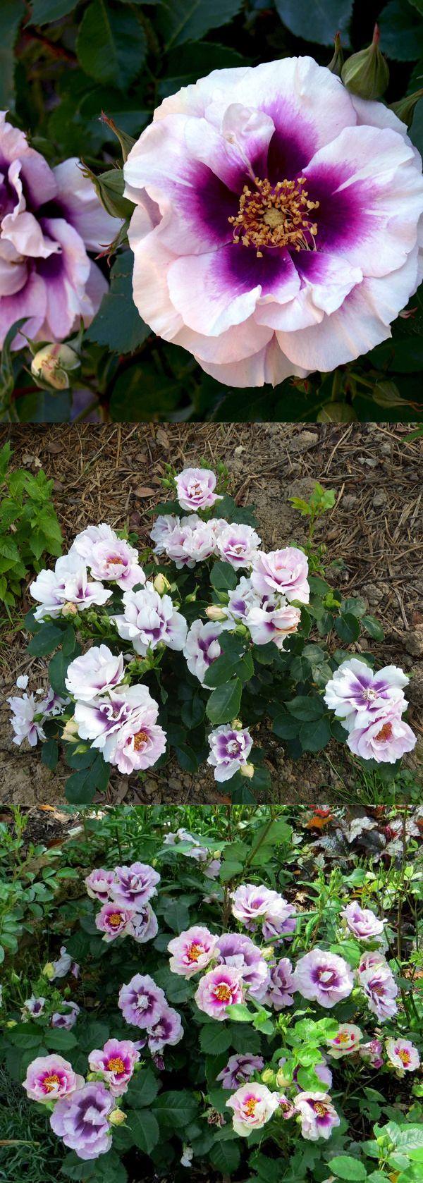 25 beste idee n over fleurs jaunes vivaces op pinterest planter un rosier rose anglaise en - Pensee fleur vivace ou annuelle ...