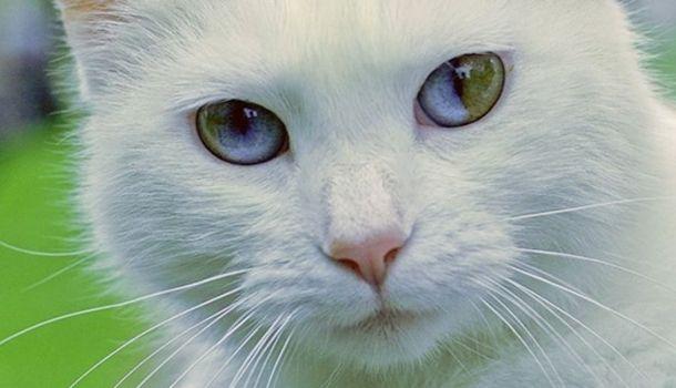 Képek csodálatos színváltós szemű cicákról