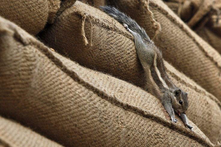 A squirrel stretches out on a heap of sacks filled with paddy at a grain market in Chandigarh