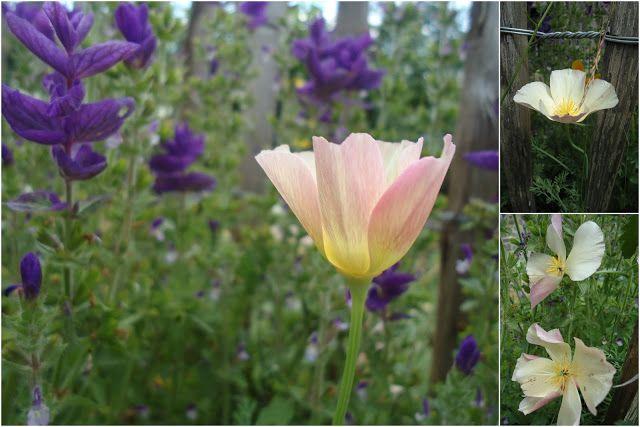 Salvia Horminum et Escholtzia 'Apple Blossom'