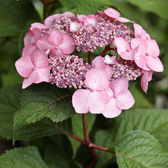 Hydrangea macrophylla Endless Summer Twist-n-Shout. Rebloomer in summer and fall. Blue or pink lacecap-type flowers. + Acidic soil = bluer flowers; - acidic = pinker flowers. Add soil sulfur or aluminum sulfate for bluer flowers and add dolomitic lime for pinker flowers. Do best in a spot that gets morning sun and afternoon shade. Produce blossoms on both last year's branches and this year's stems. Only cut off parts of branches that died over winter.  5 feet tall. Zones 4-9