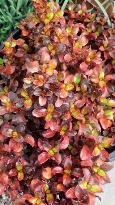 8 Best Images About Waterwise Shrubs On Pinterest Trees And Shrubs Sweet Peas And Compact