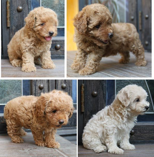 AnjingKita.Com - Good Quality Toy Poodle Puppies For Sale - Anjing Poodle