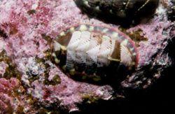 poliplacóforos (Polyplacophora, del griego polýs πολύς, muchas, plax πλαξ, placa o valva y phorós φορός, portador; más la terminación neutra de plural -a), son una clase de moluscos. Existen unas 600 especies, llamadas quitones en los libros por castellanización y generalización del nombre de uno de los géneros más comunes, Chiton. En la lengua común se les llama a veces cucarachas de mar o cochinillas de mar.