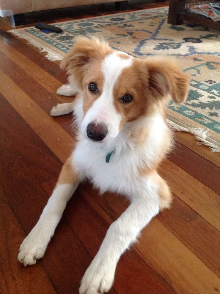 Honey the Boarder Collie 6 months old.