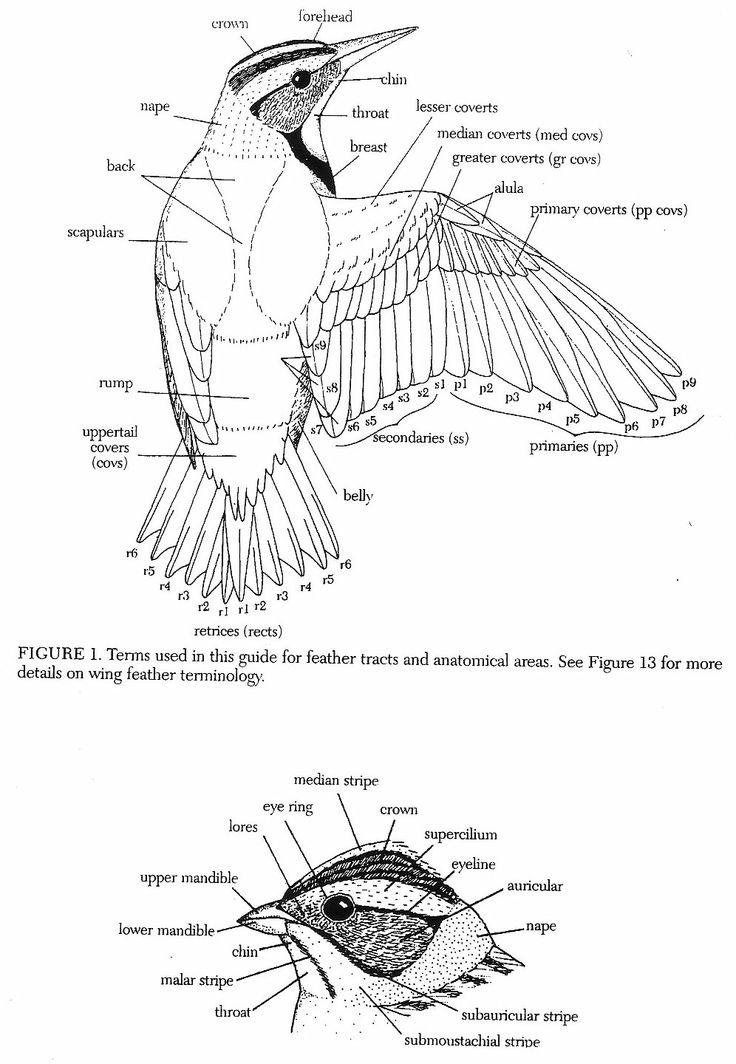 bird wings anatomy - 892×871