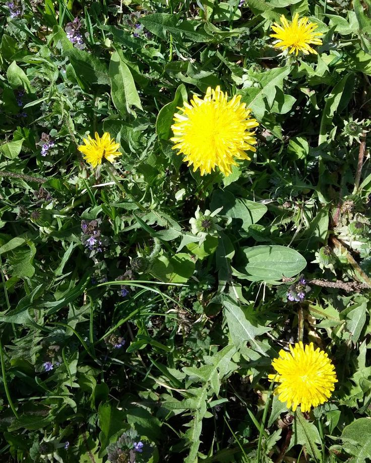 Voikukka kukkii. Voikukkahilloa tulossa. #itsetehty #ruokablogi #ruoka#kotiruoka #herkkusuu #lautasella #Herkkusuunlautasella#ruokasuomi