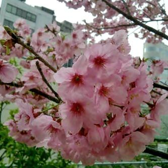 Bunga Sakura (Cherry Flower)