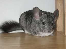Essentials for first time chinchilla owner