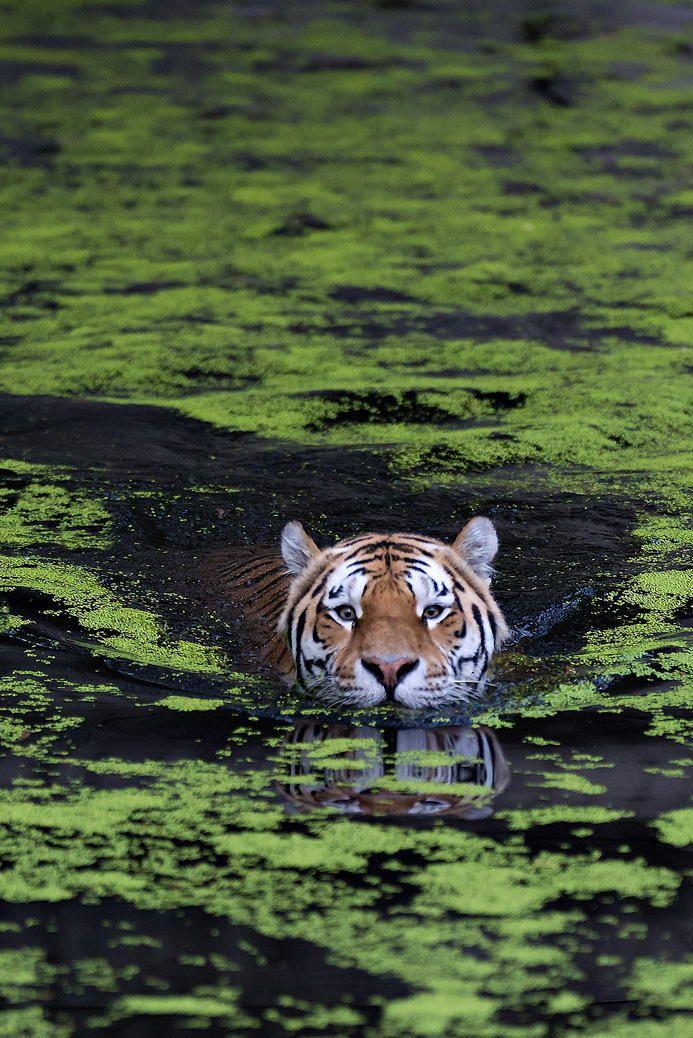 Asia, Swimming tiger by Henrik Vind