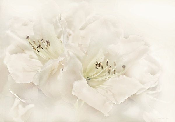 White ivory Azalea flowersphotography art by Jennie Marie Schell. #flower #azalea #white #whiteflower