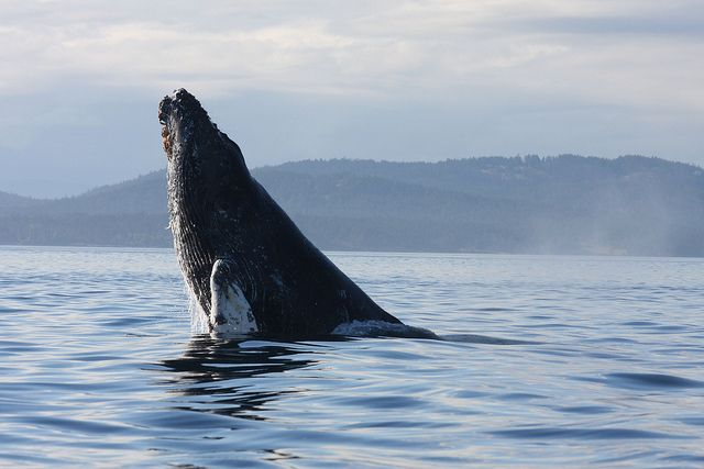 The issue of whale survival is now renown across the globe thanks to the efforts of conservationists, but these 3 whale species were nearly taken out. http://aquaviews.net/ocean-news/whale-species-extinction/