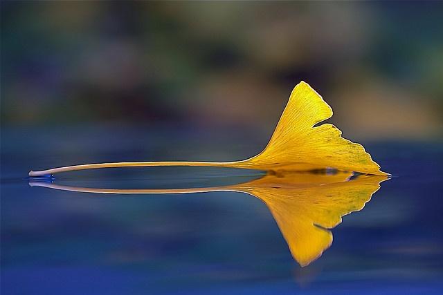 Gingko leaf gay