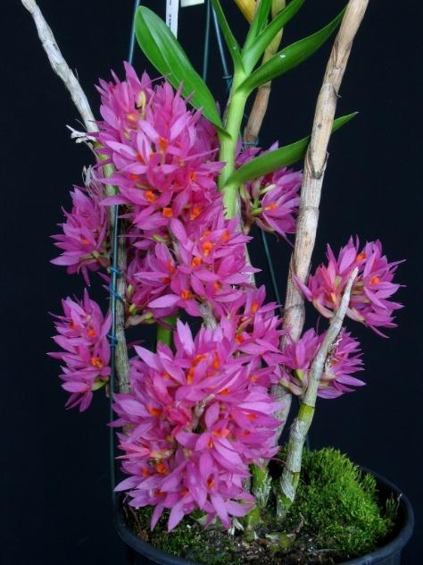 Orquídeas Dendrobium bracteosum