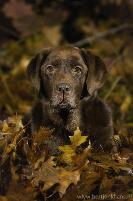Chocolate lab in fall leaves...beautiful.