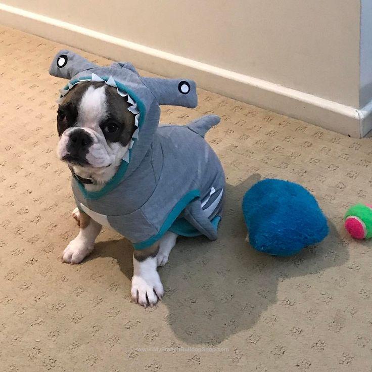 Hammerhead Frenchie, French Bulldog in Shark Costume
