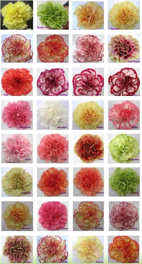 Carnation Color Guide Jacki!!!! I like Piet for Havanah's bouquet. Then yellow red orange for the other girls.