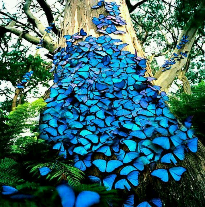 I created a collage on a wall with cut out pictures of these butterflies in my last apartment. I loved it.