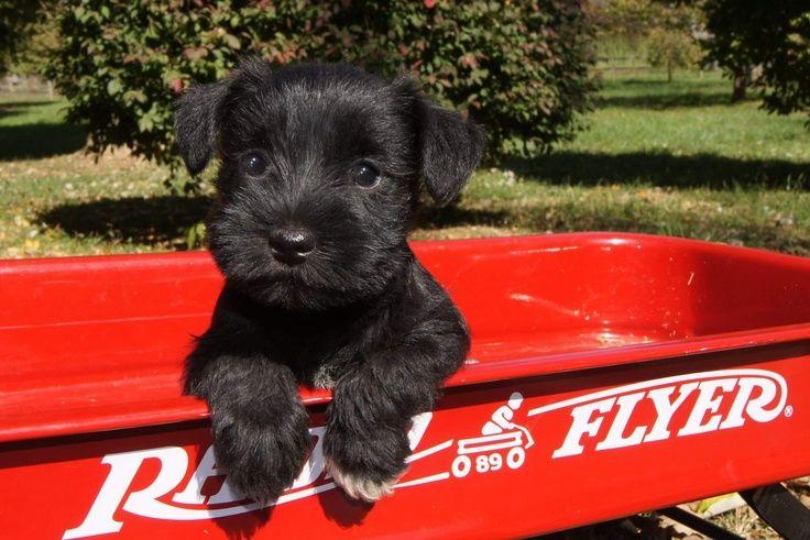 16fb8e206371fe2afbe0a7623335bb2a miniature schnauzer puppies schnauzer puppy