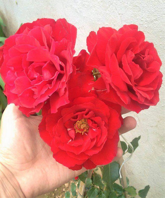 A Rosa Trepadeira de cor vermelho-veludo produz belas flores de tamanho grande! Rosas trepadeiras são hibridas que foram desenvolvidas para função de trepadeira. Os galhos são mais flexíveis, mas as características da flor (beleza e perfume) se mantém. Seus ramos chegam a atingir mais de 6m de comprimento e ficam repletos de rosas. Florescem diversas vezes na primavera, verão e outono, dando um intervalo no inverno. Os ramos podem ser conduzidos, podados e moldados em formatos diversos sem…