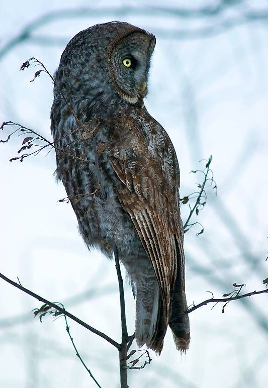 Great Gray Owl (Strix nebulosa) - Picture 11 in Strix: nebulosa - Location: Quebec, Canada. Photo by Rachel Bilodeau.