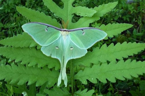 5 Cool Things You Didn't Know About Moths (But Should!) Pictured: Luna moth via @Catherine.org