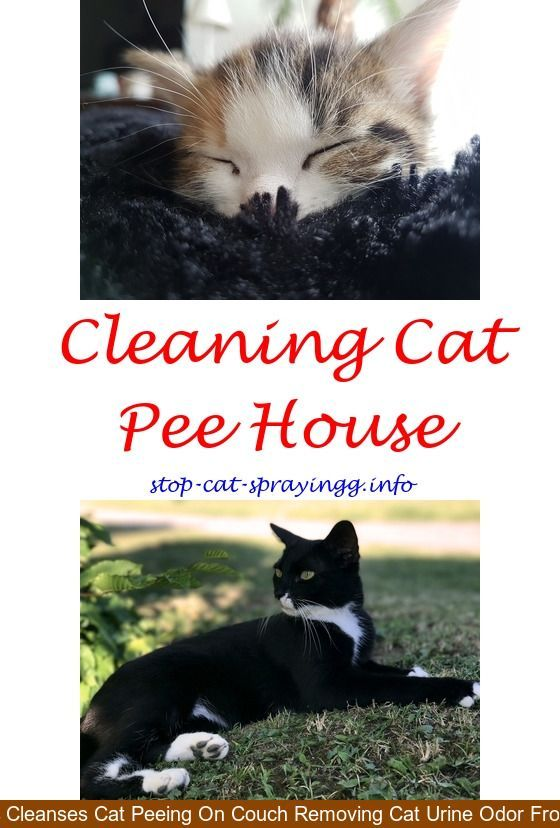 Cat Peeing In House Kitty Cat Urine Smells Cat Urine