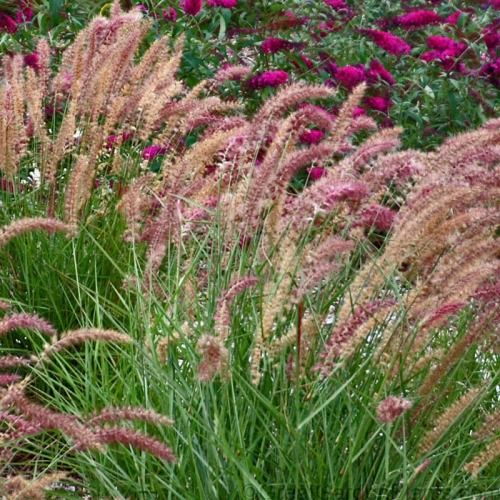 7 best fountain grass images on pinterest garden grass for Landscape grasses for sun
