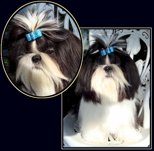 shih tzu hair care 75 best images about shih tzu on pinterest big thing 7125