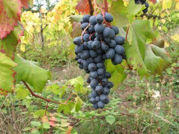 62 best images about grape vines on pinterest the grapes vineyard and juice - Seedless grape cultivars ...