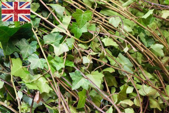 British Ivy trails (Hendra helix), Autumn Foliage at New Covent Garden Flower Market - October 2015