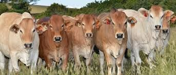 Image result for boran cattle
