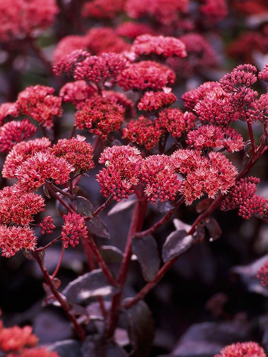 Sedum: Sedum  One of the quintessential autumn plants, sedum bursts into bloom at summer's end. This tough plant laughs off all summer's heat and drought to look great in your garden at the end of the season.  Name: Sedum spectabile  Growing Conditions: Full sun and well-drained soil  Size: To 18 inches tall  Zones: 4-9  Native to North America: No