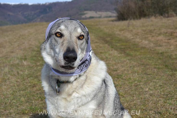 czechoslovakian wolfdog female Vega